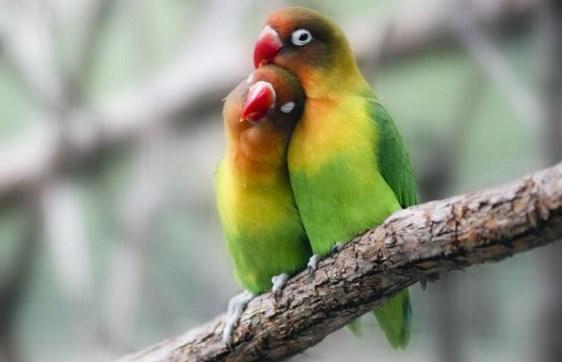 Lovebird-Diberi-Jamu-Tradisional-Agar-Prima